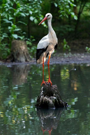 climbed: Stork in the nature habitat, climbed on a log in the middle of the lake.