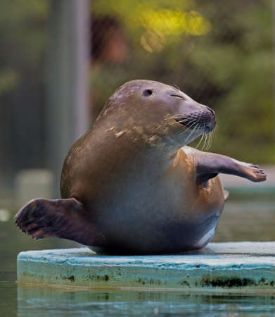 A funny attitude of one seal at zoo. Stock Photo