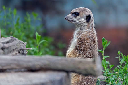 Funny slender-tailed meerkat standing on a rock.