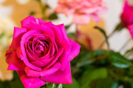 magenta: Magenta rose with blur background