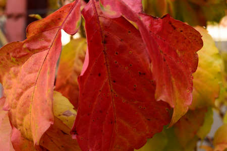 detail of rusty autumn leafes