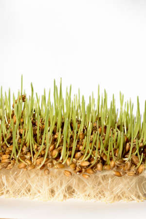 Fresh sprout wheat seeds with roots   Stock Photo