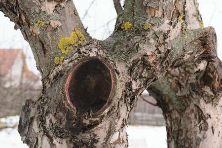 Apple tree cut branch - healed