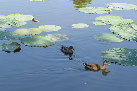 two ducks swimming on lake between water lilies leaves