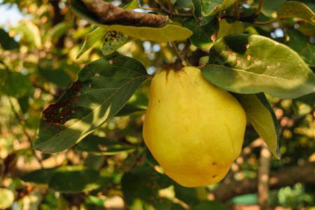 big yellow golden quince fruit unharvested with green leaves background in autumn time
