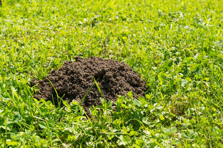 molehill on the lawn in bright sunlight - copy space Imagens