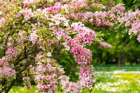 pink Weigela florida flowers (Caprifoliaceae) in the park Stock fotó