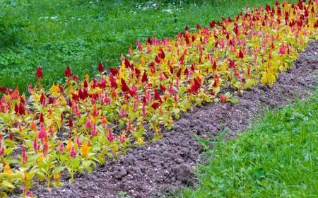 colorful celosia flowers bed, mixed colors
