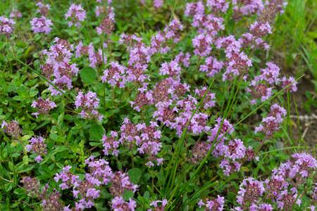 wild Breckland thyme (Thymus serpyllum) flower is a well known medicinal herb prepared as tea