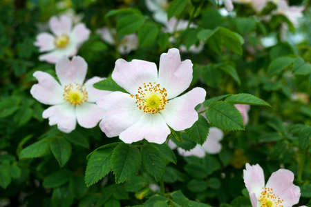 wild dog rose (Rosa canina) flower is used as pale medicine