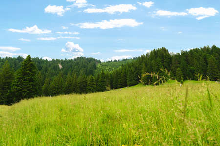 scenic landscape of sub mountain area with large open grass field and evergreen fir trees Reklamní fotografie