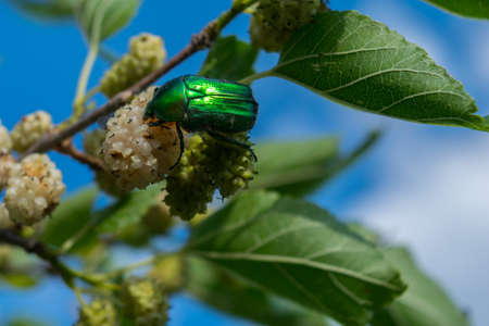 one green rose chafer (Cetonia aurata) feeding on an white mulberry fruit