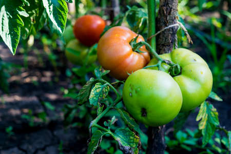 unpicked red and unripe green organic tomatoes starting to be affected by disease