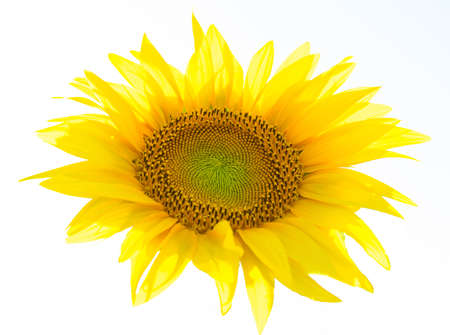 one yellow sunflower flower isolated on white - artistic illumination