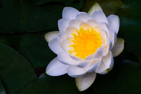 close-up view of one blossom water lily white and yellow