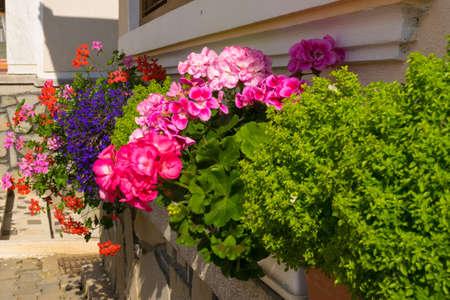 beautiful geranium flower arangement - uncut flowers planted in pots