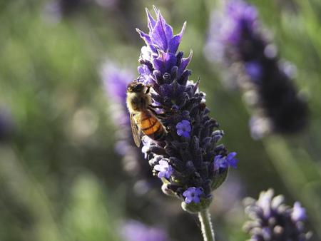 Bee extracting pollen from a lavander flower in the garden.