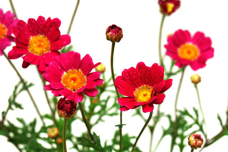 herbal background: Pink flowers isolated on white background