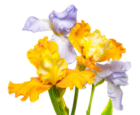 Bouquet of flowers blooming iris yellow and purple isolated on white background