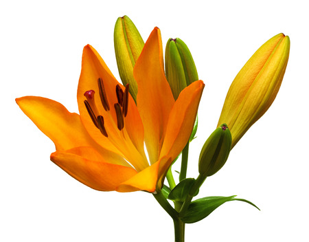 orange lily: Orange lily flower with buds isolated on a white background
