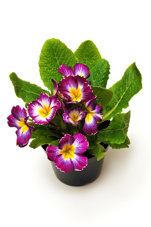 polyanthus: Flowers primrose, primula flowers in a pot isolated on white background