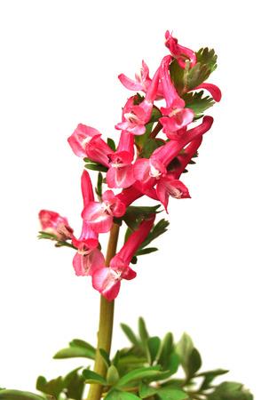 corydalis: Pink flower Corydalis isolated on white background