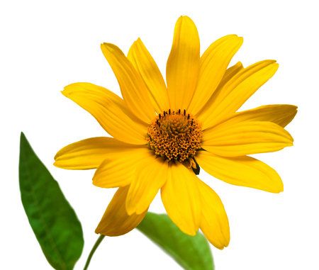 isolated on yellow: One yellow daisy isolated on a white background Stock Photo