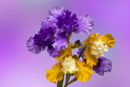 Flowers iris on a violet background