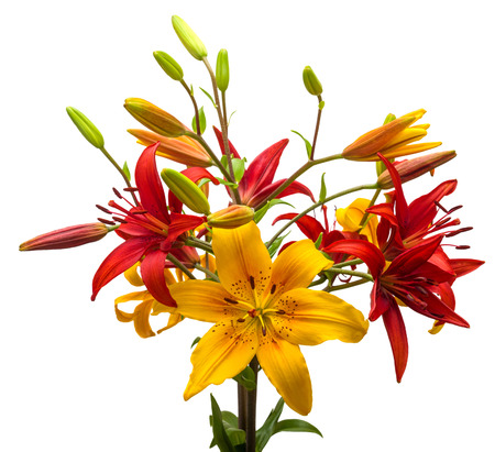 lily: Bouquet of beautiful flowers lilies. The holiday greeting card colors.