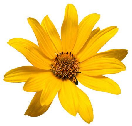 pâquerette: Une marguerite jaune isolé sur un fond blanc Banque d'images