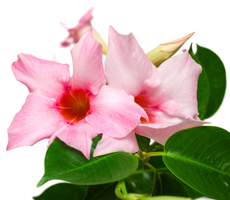 dipladenia: Rosa fiori Dipladenia su sfondo bianco