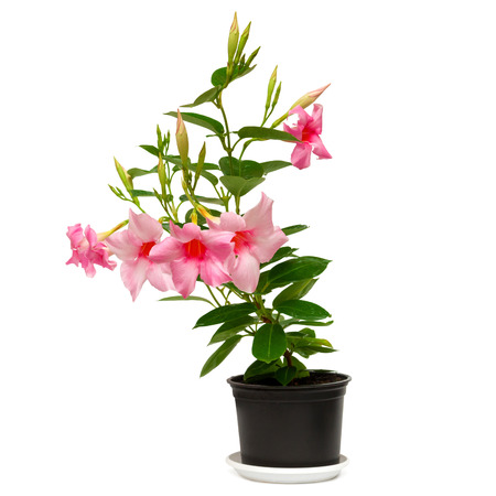dipladenia: Rose dipladenia flowers in a pot isolated on white background