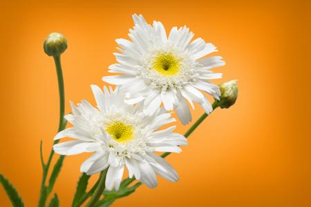 white daisies: White daisies on orange background Stock Photo