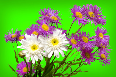 green and purple: Bunch of white and purple daisies on light green background