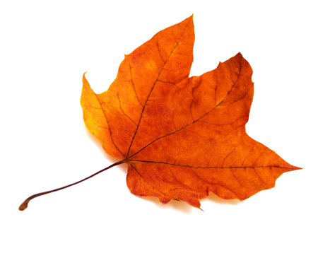 autumn colors: Maple leaf isolated on white background