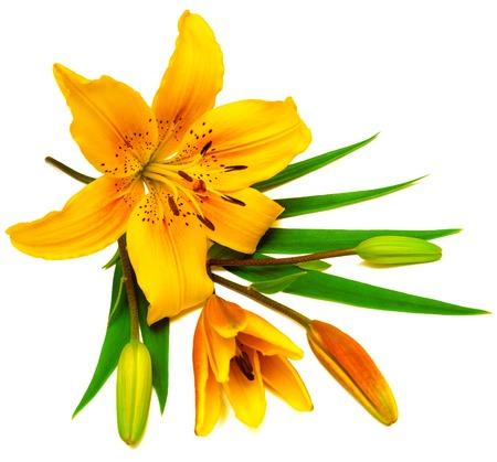 flor de lis: Flor de lirio amarillo con brotes aislados en un fondo blanco. Las flores se asemeja a una estrella de mar
