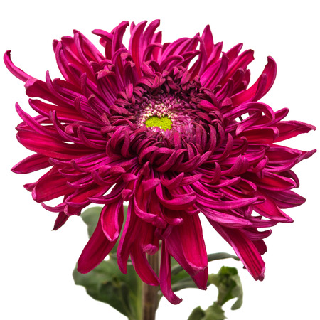 flores moradas: Dark maroon chrysanthemum flower isolated on white background