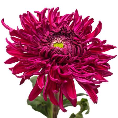 purple flowers: Dark maroon chrysanthemum flower isolated on white background
