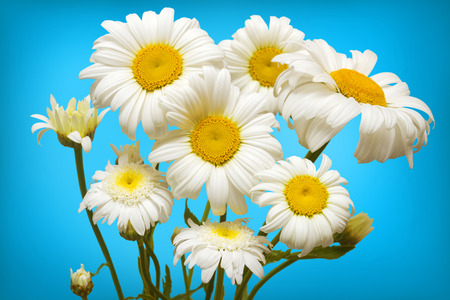 pâquerette: Marguerites blanches sur fond bleu