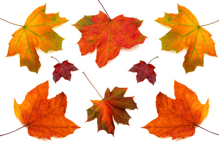 leaf close up: Collection of maple leaves isolated on white background Stock Photo