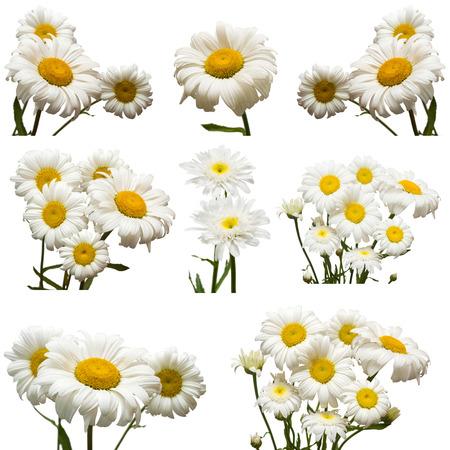 marguerite: Collection de fleurs marguerite blanche isolé sur fond blanc