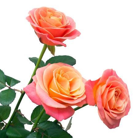 rosas naranjas: Manojo de Rosas Rosa aislados sobre fondo blanco
