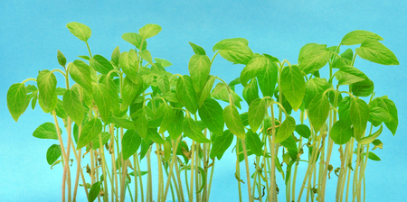 horticulture: Seedlings of tomatoes, the young leaves on a blue background
