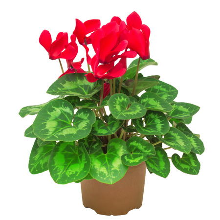 Red flower of cyclamen in a pot isolated on white background