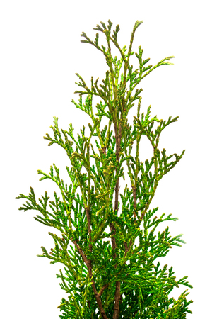 hedge plant: Thuja branches close-up isolated on white background Stock Photo
