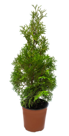 Thuja in a pot isolated on white background