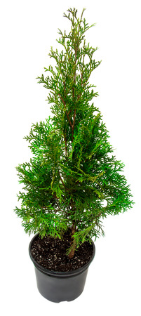 thuja occidentalis: Thuja in a pot isolated on white background