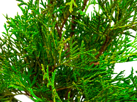 thuja occidentalis: Thuja branches close-up isolated on white background Stock Photo