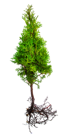 thuja occidentalis: Thuja with root isolated on white background Stock Photo