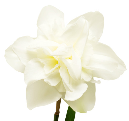 White narcissus isolated on white background. Flowers card Stock Photo
